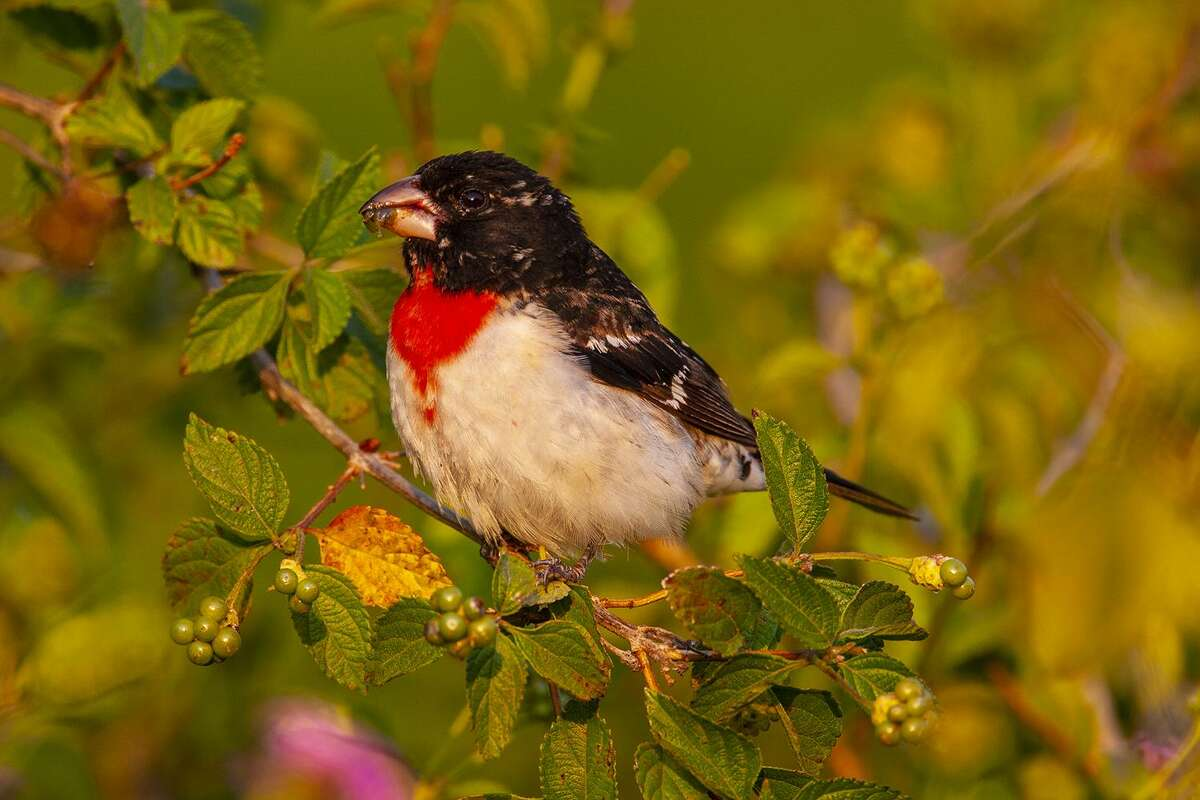 Rose-breasted grosbeaks do not breed in Texas but pass through during spring migration. Look for them in backyards, gardens, parks, woodlands, and bird sanctuaries. Photo Credit: Kathy Adams Clark. Restricted use.