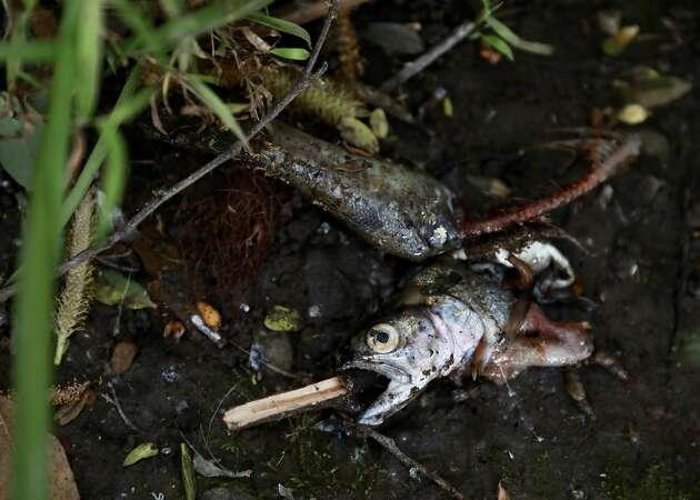 Hordes of fish killed in Berkeley by firefighting water, foam