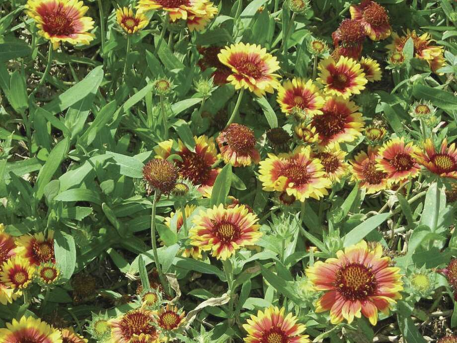 Gaillardia is a flashy, drought-tolerant plant that grows on borders of woods and on hillsides.