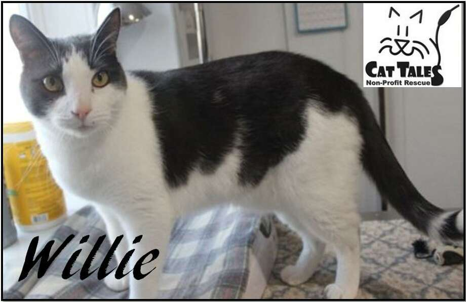 """Willie is waiting for a new home. He says, """"I'm a very affectionate, playful and friendly boy who loves attention and everyone I meet. I'm an active cat so a home with a large indoor space to run around and perhaps a porch so I can feel like I am outdoors cat would be great for me. Cat climbers/ trees and toys would be awesome, too. A home with older children or just adults would be best for me and I need to be the only pet in the home. I'd love to be your best friend. Please adopt me."""" Visit http://www.CatTalesCT.org/cats/Willie, call 860-344-9043, or email info@CatTalesCT.org. Watch our TV commercial: https://youtu.be/Y1MECIS4mIc Photo: Contributed Photo"""