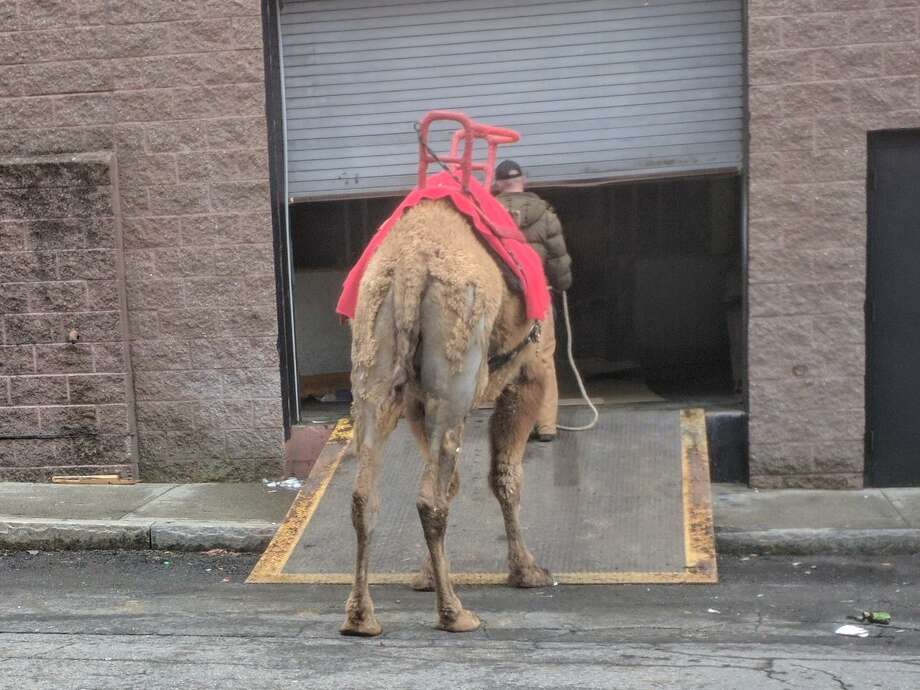 A Garden Bros Circus camel being led into the Danbury Ice Arena in April 2018. Photo: Jill Alibrandi / Contributed Photo