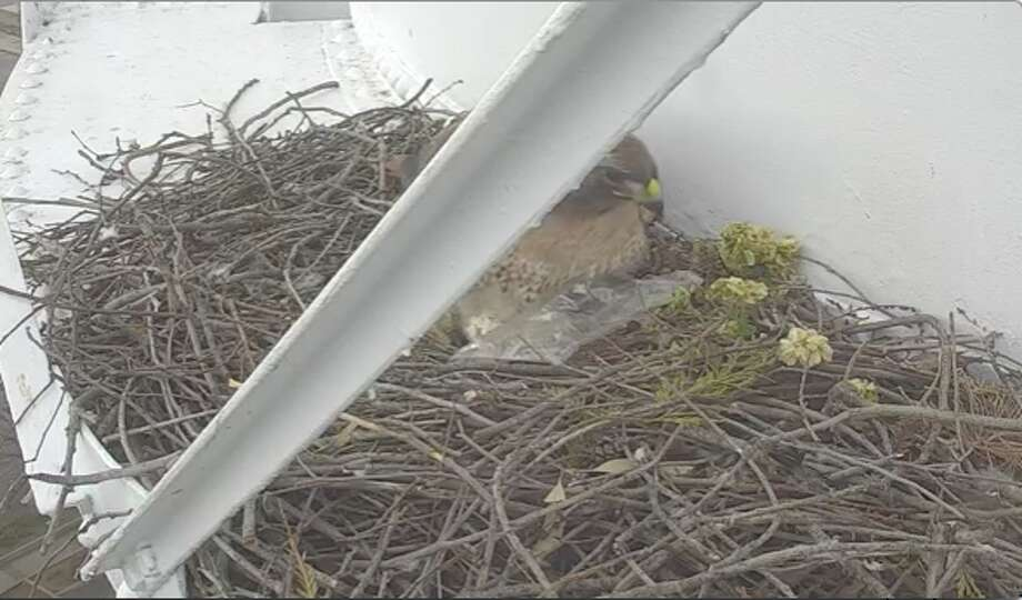 The Clovis Police Department posted footage this week of a female red-tailed hawk using a piece of plastic to shield her eggs from the rain. Click through the gallery for a look at the types of animals most threatened by climate change. Photo: Clovis Police Department