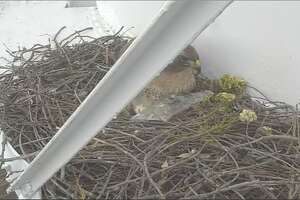 The Clovis Police Department posted footage this week of a female red-tailed hawk using a piece of plastic to shield her eggs from the rain.