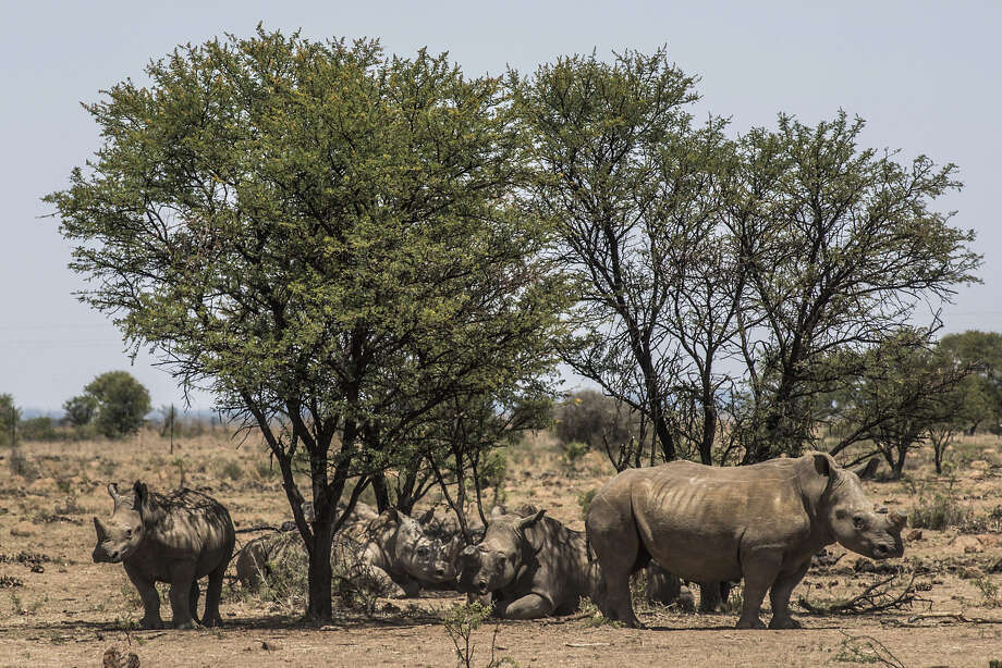 A group of white rhinos shelter from the sun beneath a cluster of trees in South Africa on Dec. 4, 2015. Photo: Bloomberg Photo By Waldo Swiegers. / © 2015 Bloomberg Finance LP