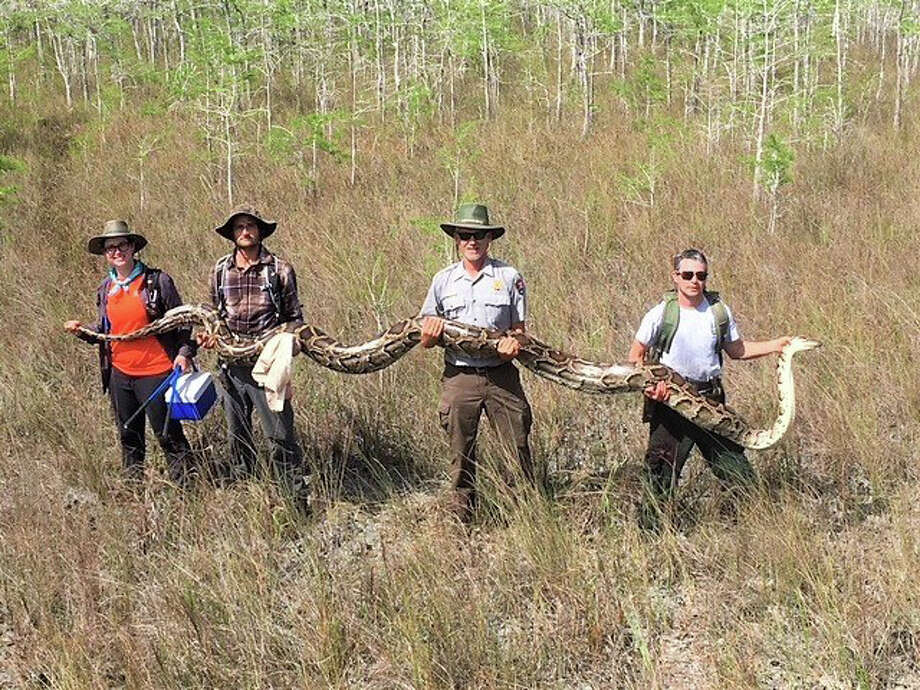 Wildlife officials say this snake is the largest Burmese python ever to be removed from Big Cypress National Preserve in the Florida Everglades. Photo: National Park Service. / NATIONAL PARK SERVICE
