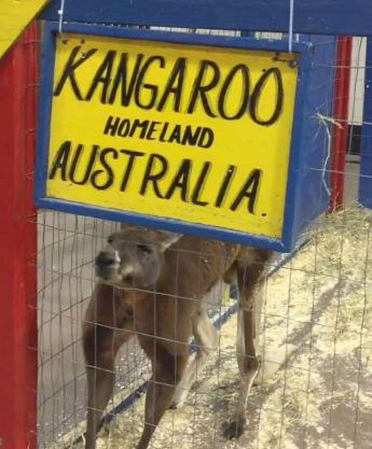 Photos and video of a kangaroo at an event at the XL Center in Hartford has drawn great concern from people in Connecticut as well as Australia, who say it should not be used as an animal attraction and should be returned to Australia or put in a sanctuary. Photo: Amy Marie Mallardi / Contributed Photo