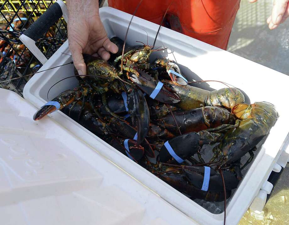 Lobsters caught in the waters of the Long Island Sound in June 2016. Photo: Matthew Brown / Hearst Connecticut Media / Stamford Advocate