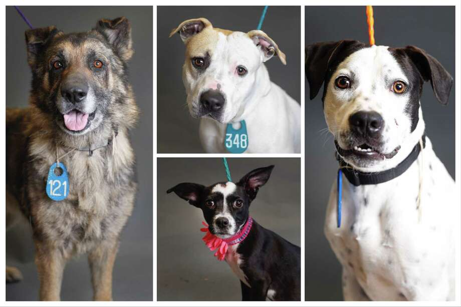 Dogs ready to be adopted from Harris County Animal Shelter. Photographed Tuesday, April 9, 2019, in Houston. Photo: Karen Warren, Staff Photographer / © 2019 Houston Chronicle