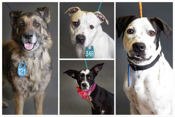 Dogs ready to be adopted from Harris County Animal Shelter. Photographed Tuesday, April 9, 2019, in Houston.