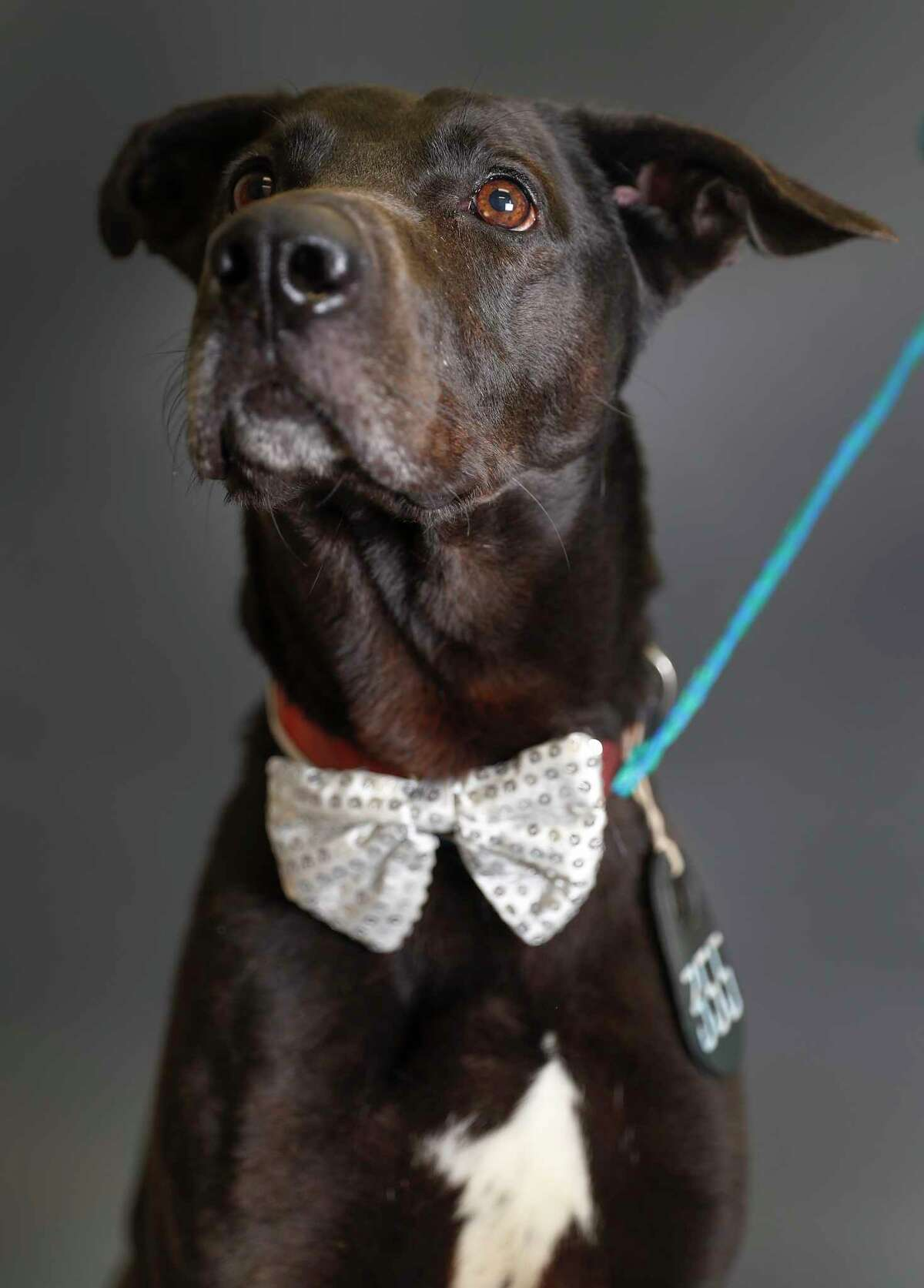Charlie is a 5-year-old, male, Labrador Retriever mix and is ready to be adopted from Harris County Animal Shelter. (Animal ID: A529880) Photographed Tuesday, April 9, 2019, in Houston. Charlie is a good dog, who knows how to sit, and was found as a stray.
