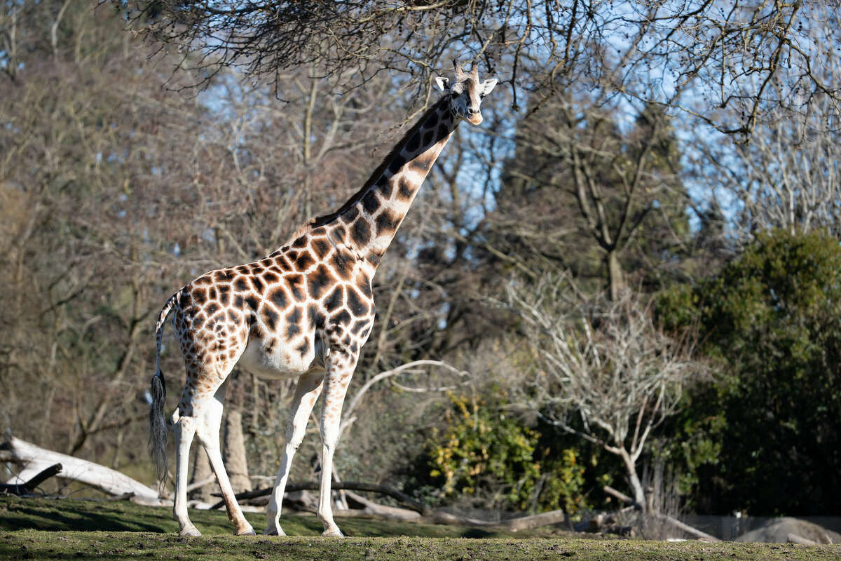 Woodland Park Zoo is preparing to welcome a baby giraffe this spring. Olivia, the Seattle zoo's 12-year-old giraffe pictured here, has entered 24-hour birth watch and is showing signs that labor is near.