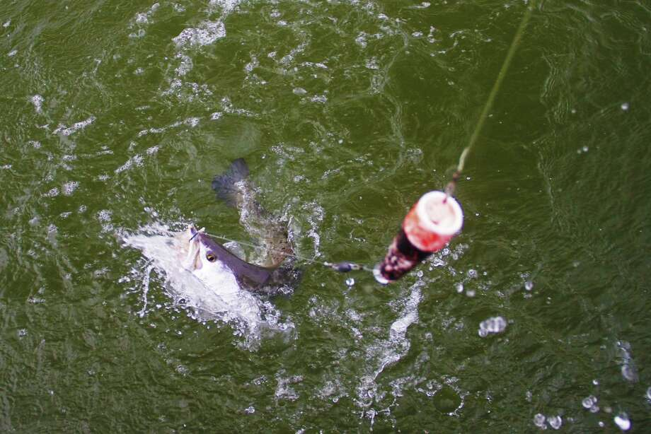 Like this speckled trout that fell for a live shrimp fished near a reef in San Antonio Bay, almost half of all fish landed by anglers in private boats fishing Texas bays are taken on live natural baits such as shrimp and small finfish. Photo: Shannon Tompkins / Houston Chronicle