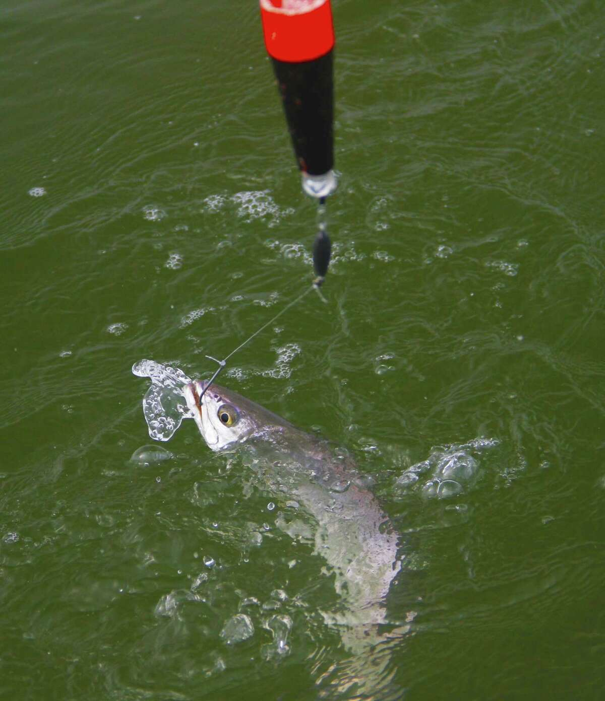 Like this speckled trout that fell for a live shrimp fished near a reef in San Antonio Bay, almost half of all fish landed by anglers in private boats fishing Texas bays are taken on live natural baits such as shrimp and small finfish.