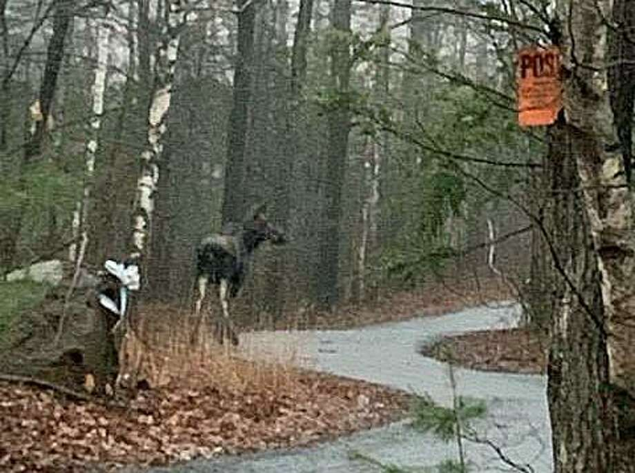 "This moose was spotted earlier this month in Suffield in northern Connecticut. ""Stay alert when driving in areas of the state where moose are observed on a regular basis,"" DEEP said. Photo: DEEP Via Facebook"