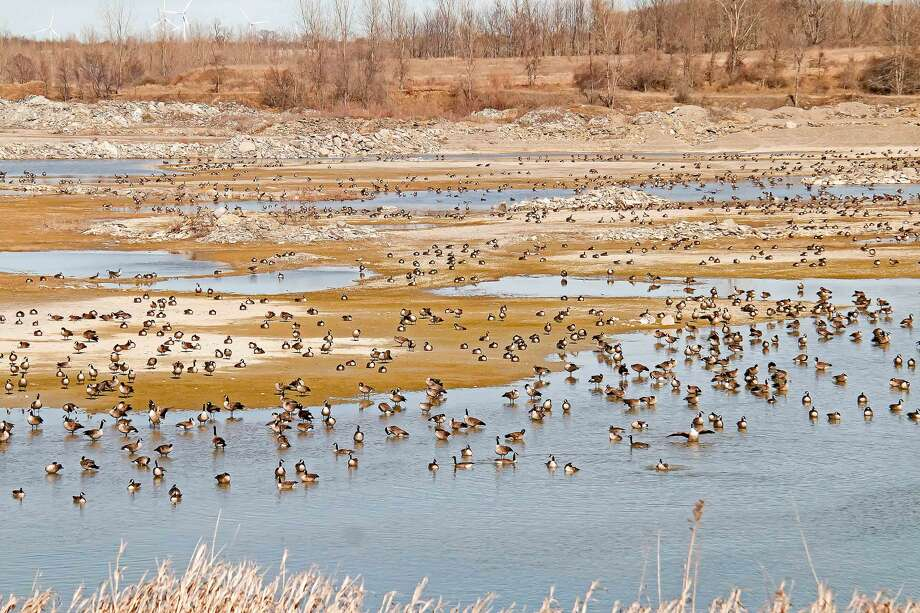 The Wallace Stone Quarry, near Bay Port,  proved to be a perfect stopover spot for a large flock of Canada geese. Photo: Bill Diller/For The Tribune