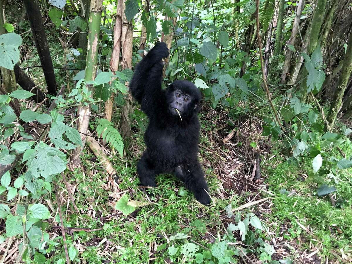 In Rwanda's Volcanoes National Park, a young gorilla hangs on a vine.