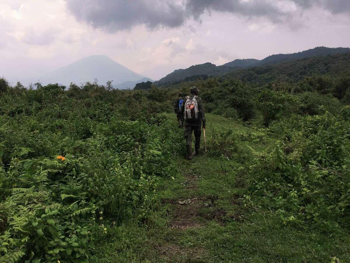 Guides lead gorilla treks in Volcanoes National Park in Rwanda where the lush rainforest cloaks the ancient peaks of the Virungas.
