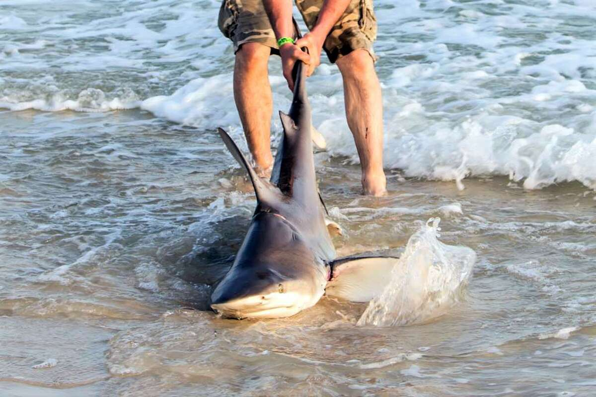 As Pittman reeled in the large fish, he noticed something unusual. The shark was wrapped in a car engine belt.