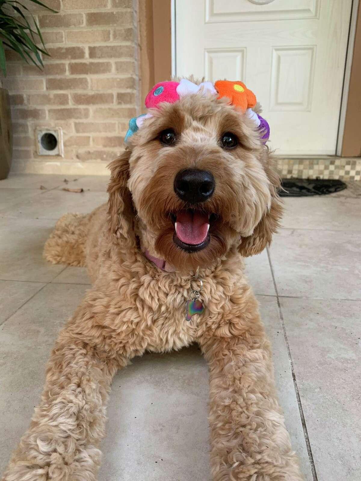 Maggie Soberanes (@mags0727)'s mini Goldendoodle Arlowe, known as@arlowethedoodleon Instagram, modeling her Fiesta flower crown by Woof & Whiskers.
