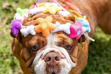 Fetching Flower Crown by Woof & Whiskers Pet Toys.