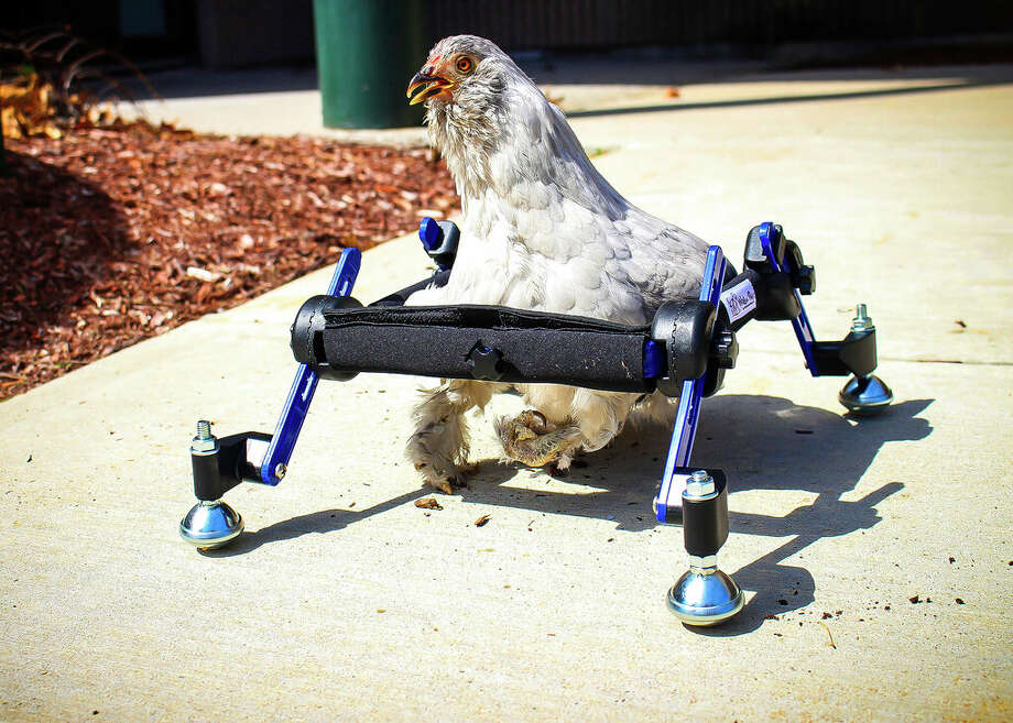 "In this provided by Mikayla Feehan and taken on April 3, 2019, a pet chicken named Granite Heart tests out a custom wheelchair made by Walkin' Pets in Amherst, N.H. On a recent SNL episode, the television show's ""Weekend Update"" co-host said she should ""just eat the chicken."" Ten-year-old Alora Wood of Underhill, Vermont, tells NECN-TV that she knows the segment was meant to be a joke, but says what if it was a dog. The chicken was born with a deformed foot.  (Mikayla Feehan/Via AP) Photo: Mikayla Feehan/Via AP"