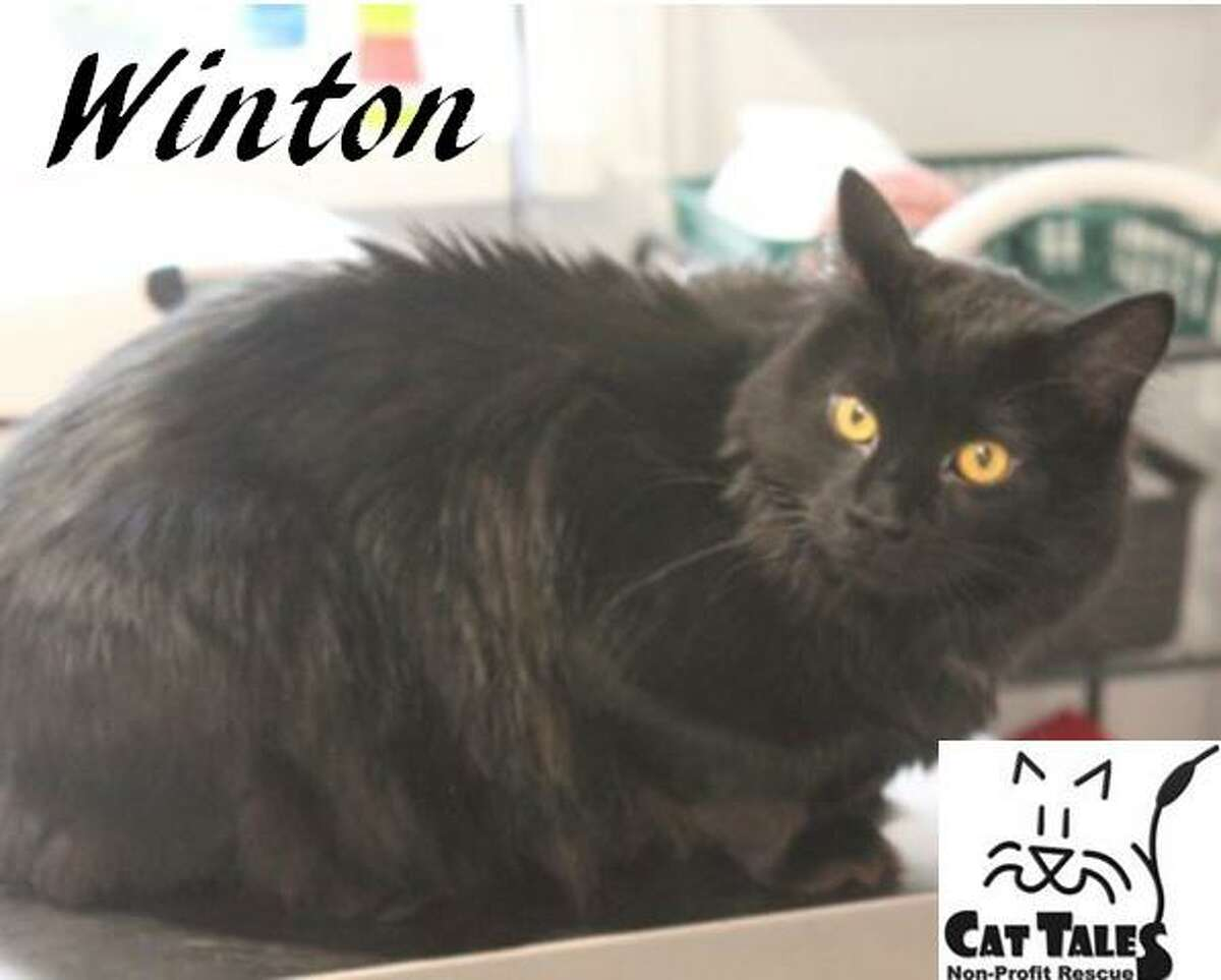 """Winton is a black medium-hair male, about 3 years old. He says, """"I'm a very friendly handsome fellow. I have to warn you, though, that I've been returned twice to Cat Tales for inappropriate biting. I've never bitten anyone at Cat Tales, but it's said I will sometimes bite your legs in your home. I'm hoping the third time's a charm for me. I love seeing and interacting with many different people at Cat Tales. I love to be petted and held when I'm in the mood. I tend to get bored easily so I need someone that will tire me out playing with me, have a few cat trees for me to climb inside, and lots of toys. Another cat or cat friendly dog may be okay too to keep me busy but I'd have to be introduced properly. Please give me another chance. My best friend is Twirl if you can adopt us both."""" Visit http://www.CatTalesCT.org/cats/Winton, email info@CatTalesCT.org or call 860-344-9043. Watch our TV commercial: https://youtu.be/Y1MECIS4mIc"""