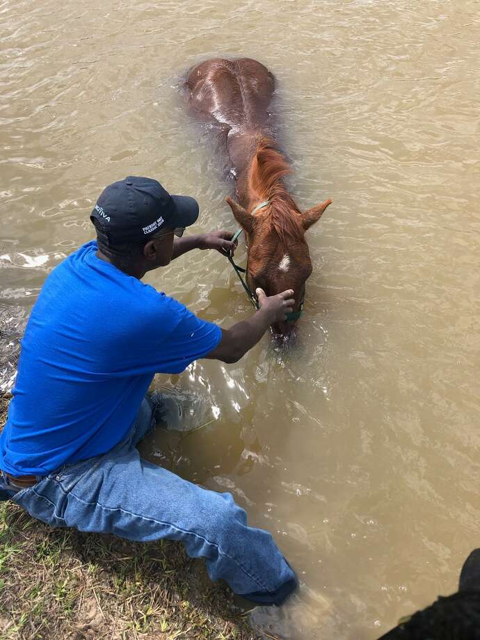 Jefferson County Sheriff's Office rescued Dusty, a four year old quarter horse, Thursday after he became stuck in a Port Arthur canal, according to a press release from the department. Photo: Photo Courtesy Of The Jefferson County Sheriff's Office
