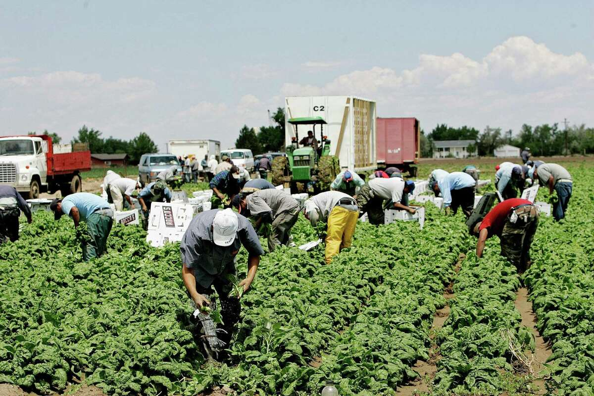 Laborers harvest spinach on a farm northeast of Denver near Brighton, Colo., in 2006. Studies show that the presence of immigrants is a net economic plus for the country.
