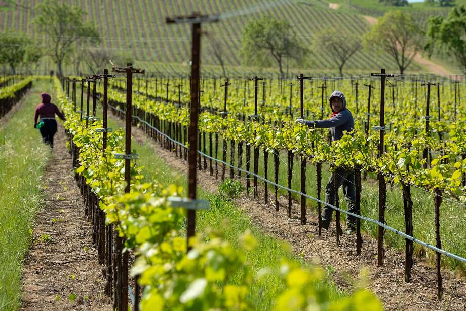 Vineyard workers reposition trellis wires in a Chardonnay vineyard at Wente Wines in Livermore. California wines make up 90% of U.S. wine exports by volume. China's tariffs are hurting the industry. Photo: Peter DaSilva / Special To The Chronicle