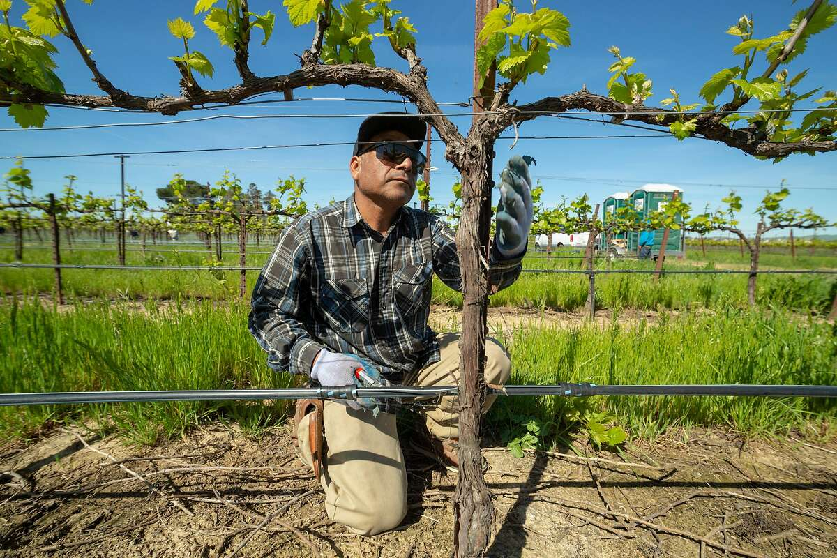 Vineyard worker reposition trellis wires in a Chardonnay vineyard at Wente Wines Friday 12 April 2019 in Livermore, CA.