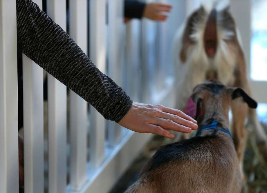 Visitors reach through fence posts to pet baby goats. Photo: Paul Chinn / The Chronicle
