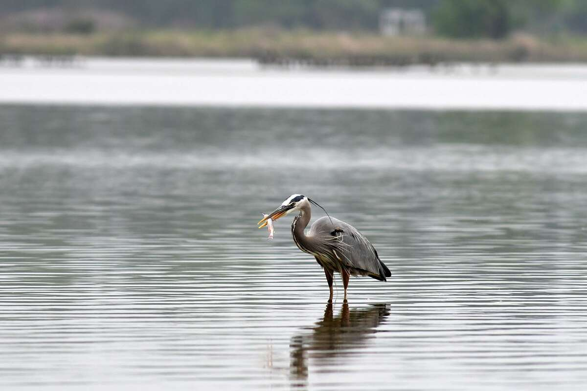 A bird snacks on a fish as he walks the lake around the mouth bar that is now only 1-2' deep, on April 4, 2019.