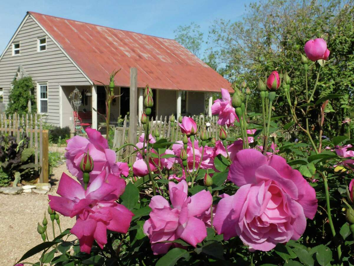 'Old Blush' shrubs bloom near the Antique Rose Emporium's beer and wine room.