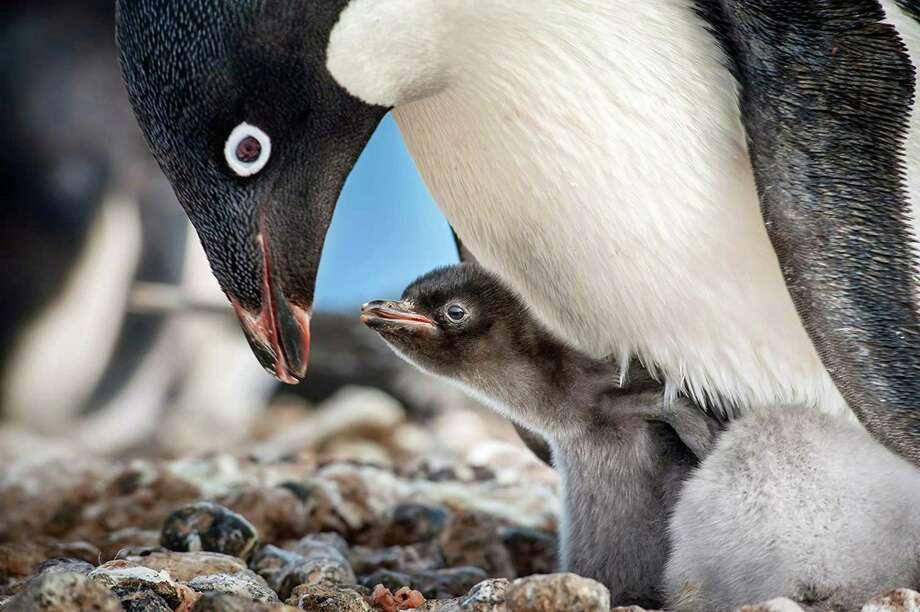 """Still from """"Pinguins."""" (Jeff Wilson/Disney/TNS) Photo: Jeff Wilson, HO / TNS / Disney"""