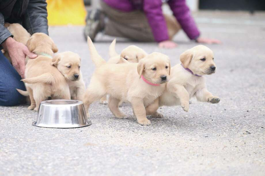 Educated Canines Assisting with Disabilities in Winchester is looking for volunteers to help raise its new litter of puppies. Photo: Contributed Photo