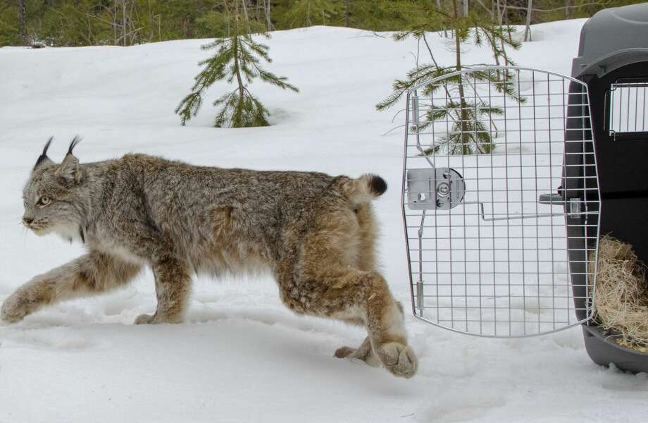 With a cautious glance, a female Canada lynx walks free from a wildlife carrier into a Schoolcraft County forest. Photo: Courtesy Of Michigan Department Of Natural Resources