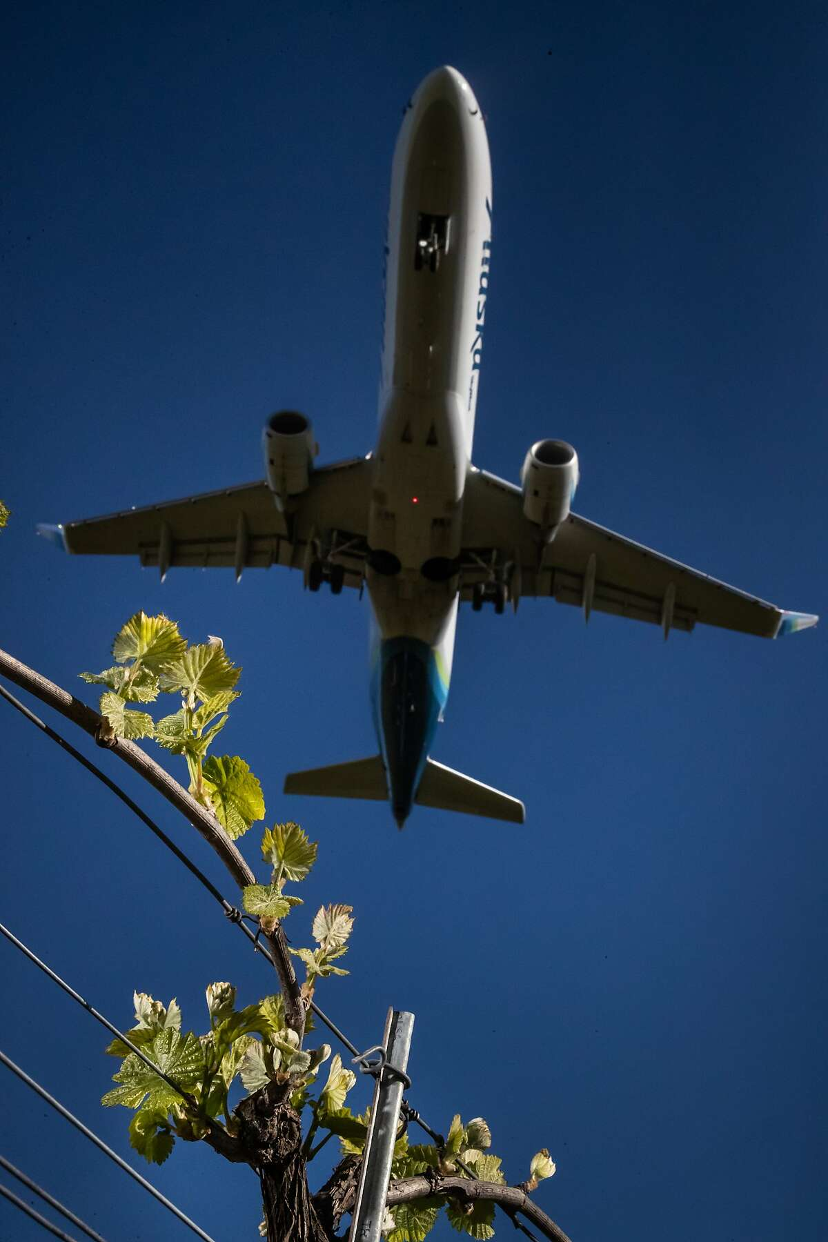 An Alaska Airlines jet lands at the Charles M. Schulz�Sonoma County Airport above fields of grapevines on Friday, April 12, 2019, in Santa Rosa, Calif.