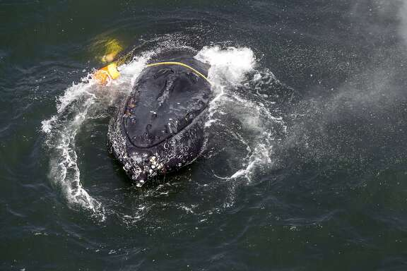 FILE - This undated file photo provided by the National Oceanic and Atmospheric Administration shows a humpback whale entangled in fishing line, ropes, buoys and anchors in the Pacific Ocean off Crescent City, Calif. California crab fisheries will close for the season in April 2019 when whales are feeding off the state's coast as part of an effort to keep Dungeness crab fishery gear from killing protected whales, officials announced Tuesday, March 26, 2019. The April 15 closure, three months before the crab fishing season normally ends, is part of a settlement reached by the Center for Biological Diversity and the California Department of Fish and Wildlife. (Bryant Anderson/NOAA via AP, File)