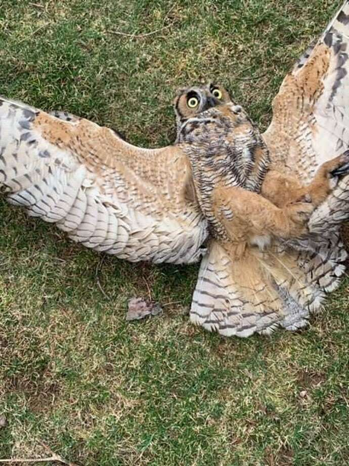 A Place Called Hope in Killingworth, which rehabilitates eagles, hawks, owls, falcons and other birds of prey has recently dealt with the death of a Great Horned Owl that left behind a brood of two owlets who also likely have been poisoned and are fighting for their lives. Photo: A Place Called Hope Photo