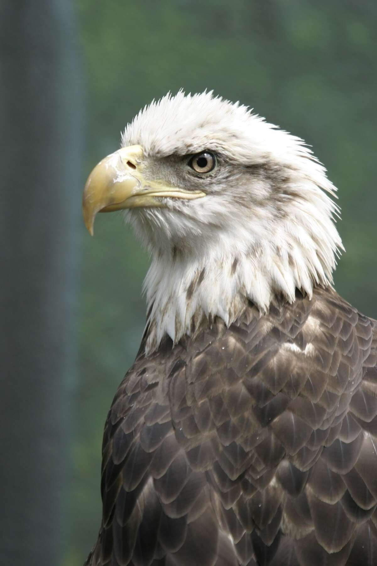 Thanks to the Endangered Species Act, the Southern Bald Eagle, once close to extinction, now thrives in the Lone Star State.