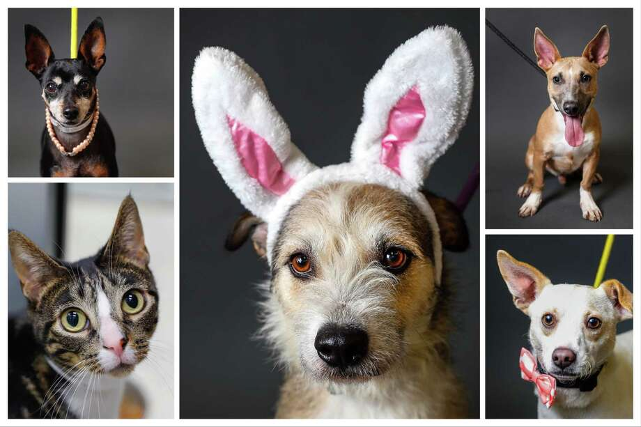 Dogs, cats and a rabbit ready to be adopted from Houston Humane Society.  Photographed Tuesday, April 16, 2019, in Houston. Photo: Karen Warren, Staff Photographer / © 2019 Houston Chronicle