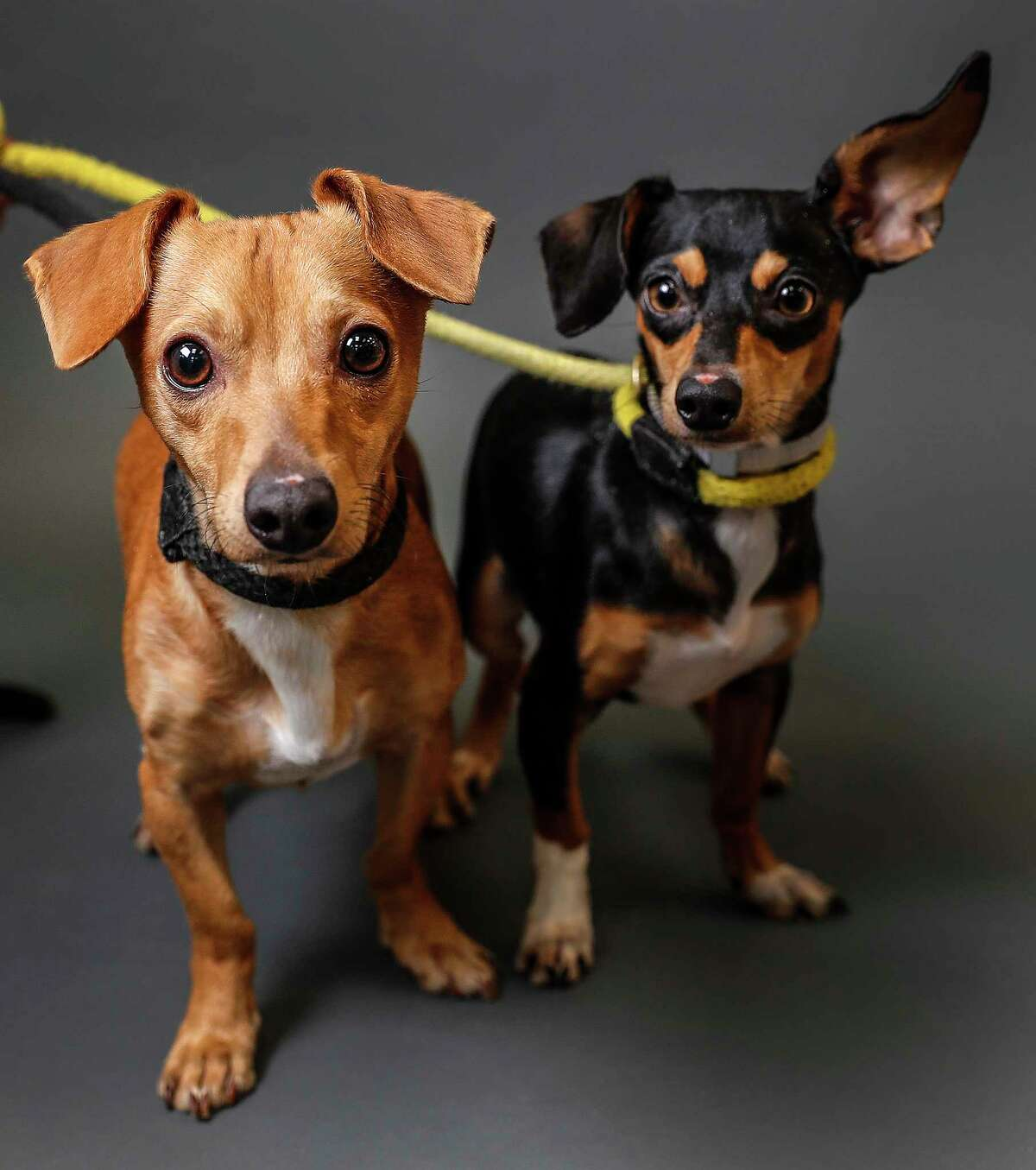 Johnny (Animal ID: 41175039) is a 2-year-old, male, tan Chihuahua mix and is bonded with June (Animal ID: 41175133) who is a 1-year-old, female, Dachshund mix. And they are ready to be adopted from Houston Humane Society. Photographed Tuesday, April 16, 2019, in Houston.