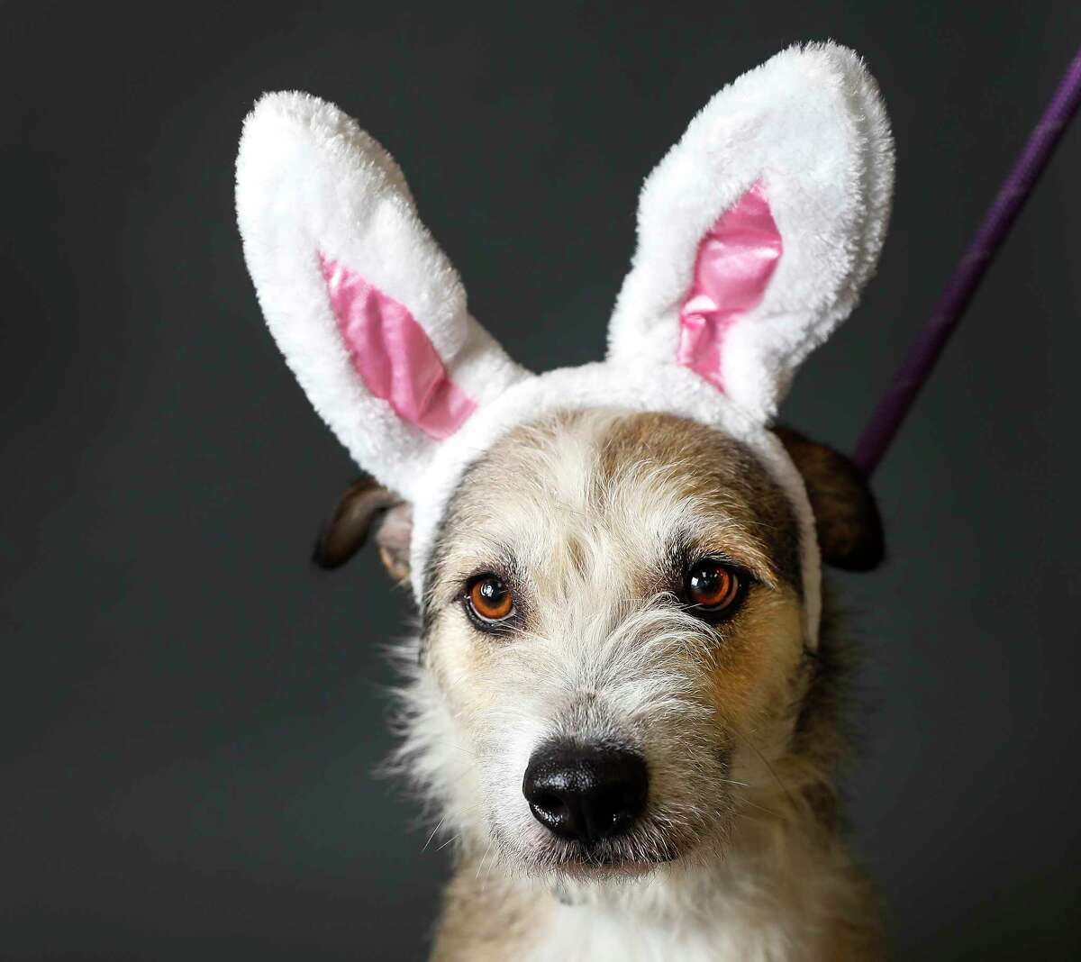 """Ariel is a 18-month-old, female, Terrier mix and is ready to be adopted from Houston Humane Society. (Animal ID: 41073231) Photographed Tuesday, April 16, 2019, in Houston. Ariel is described by the staff of HHS as """"a great dog, she's sweet, and good on a leash. Like to cuddle."""""""