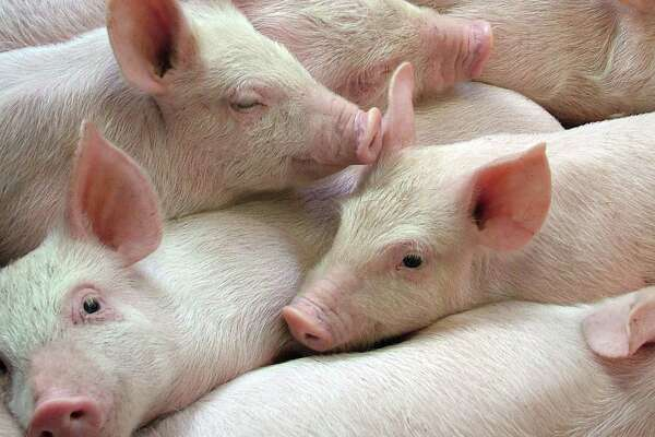 """Scientists have used a special solution to keep pig brains """"alive"""" after death."""