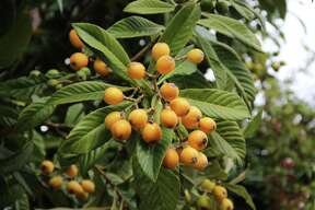 Ripe loquat fruits will be easy to find on San Antonio-area trees for the next few weeks.