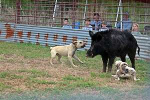 """Jake Loiacano, the owner the East Texas Hog Baying Championships in Kountze, has been facing some backlash after a comedian claimed that the practice of hog baying was """"illegal.""""   Texas law allows hog baying, and Loiacano is permitted by the Texas Animal Health Commission to house feral hogs."""