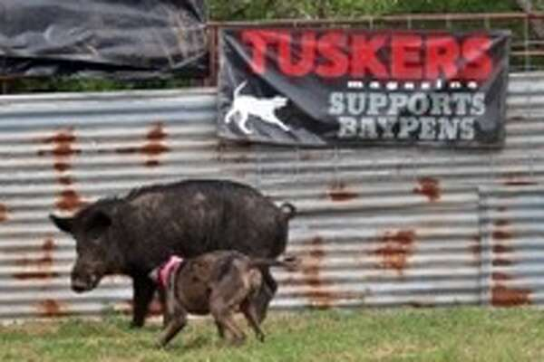 "Jake Loiacano, the owner the East Texas Hog Baying Championships in Kountze, has been facing some backlash after a comedian claimed that the practice of hog baying was ""illegal."" Texas law allows hog baying, and Loiacano is permitted by the Texas Animal Health Commission to house feral hogs."
