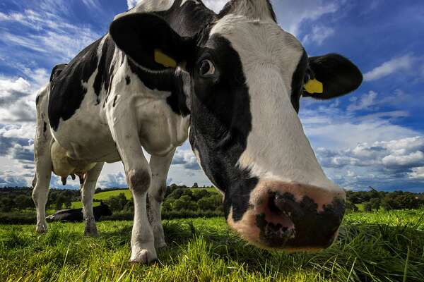 According to a Point Reyes rancher, the Great San Francisco Earthquake of 1906 opened up a fissure on his property that swallowed his dairy cow Matilda. (Cow photo for illustration purposes only.)