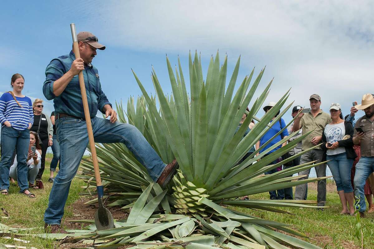Raul Chavez, a jimador, pushes over ag agave after demonstrating how to cut the leaves off of the plant for production to get to the pi�a or agave heart. The Mezcalifornia group gathered at an agave farm in Woodland for an event to post the agave - the first step in the production of mezcal - on Sunday, April 14, 2019. Mezcalifornia hopes to be California's first agave distillate.