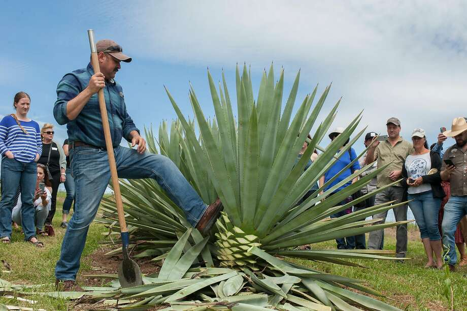 Raul Chavez, a jimador, pushes over ag agave after demonstrating how to cut the leaves off of the plant for production to get to the pi�a or agave heart. The Mezcalifornia group gathered at an agave farm in Woodland for an event to post the agave - the first step in the production of mezcal - on Sunday, April 14, 2019. Mezcalifornia hopes to be California's first agave distillate. Photo: Anne Chadwick Williams / Special To The Chronicle
